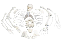3B Anatomical Disarticulated Full Human Skeleton A05/1