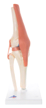 NEW 3B Scientific Functional Knee Joint A82