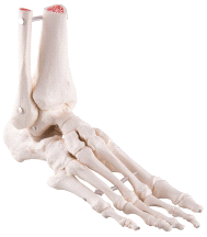 3B Scientific Loose Foot and Ankle Skeleton A31/1