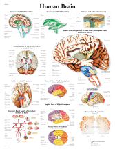 3B Scientific 5 Human Brain Chart VR1615L
