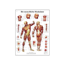 3B Scientific Human Muscle Chart VR1118L