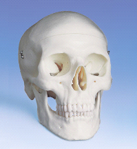 Anatomical Classic Human Skull
