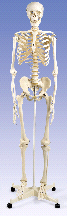 3B Anatomical Human Skeleton w/ Stand & Cover A10