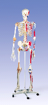 3B Anatomical Human Super Skeleton w/ Stand & Cover A13