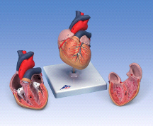 3B Anatomical Classic Heart G08