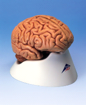 3B Anatomical Classic 5-Part Human Brain C18