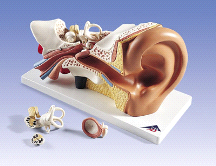 3B Anatomical Classic 5-Part Giant Ear E10