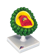 3B Anatomical AIDS Virus Model L40