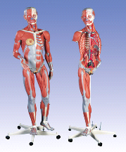 3B Scientific Dual Sex Muscle Figure 45 Part B50