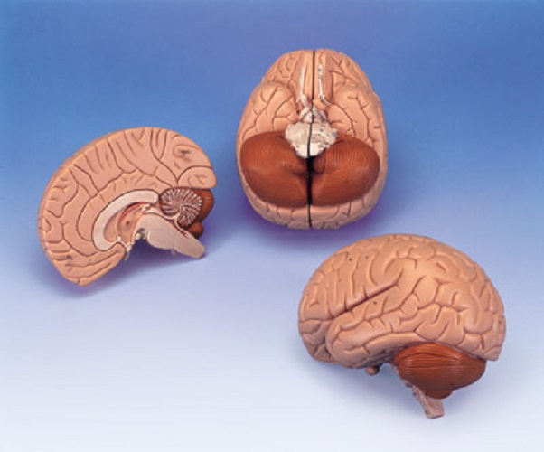 New 3b Scientific Anatomical Whole Brain 2 Parts C15 700358304422 Ebay