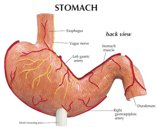 NEW Anatomical Stomach Cancer Model w/ Graphics Card 700358316203   eBay
